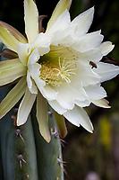 Echinopsis Peruviana, (aka. Trichocereus peruvianus) white flowering Peruvian Torch Cactus; cactus with bee at University of California Botanical Garden