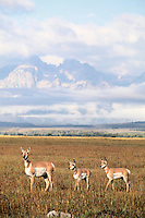 Pronghorn antelope doe and two fawns
