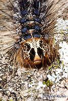 0110-0903  Gypsy moth caterpillar (Late Instar), Lymantria dispar  © David Kuhn/Dwight Kuhn Photography