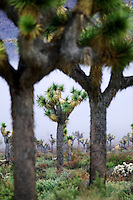 Joshua trees in fog. Joshua Tree National Park, California