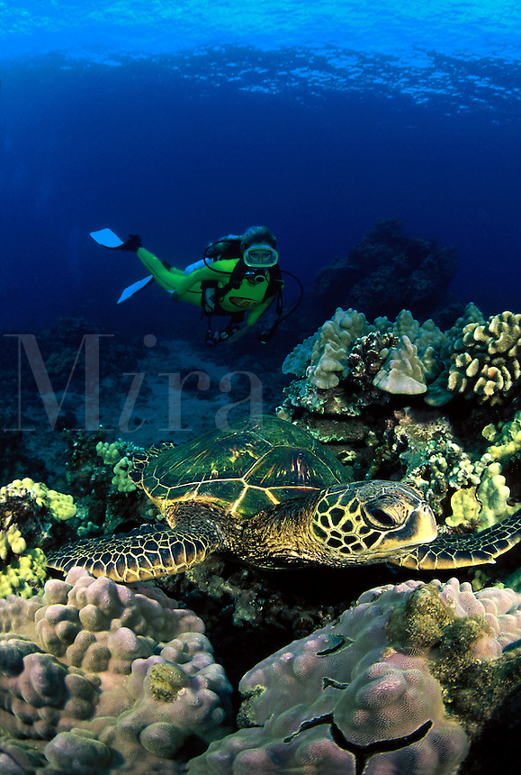 A diver (MR) approaches a green sea turtle, Chelonia mydas, resting on a coral reef. Hawaii.