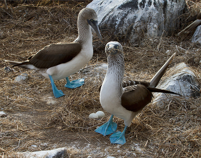 "A Blue-footed Booby leaves the straw nest containing two eggs, with straw still wrapped around its beak, as its mate arrives to take over the parenting duties. A intresting insight into parenting ""Booby-style."" I love the expression on the Booby being relieved!"