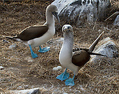 """A Blue-footed Booby leaves the straw nest containing two eggs, with straw still wrapped around its beak, as its mate arrives to take over the parenting duties. A intresting insight into parenting """"Booby-style."""" I love the expression on the Booby being relieved!"""