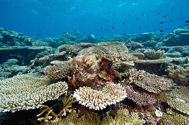 extensive hard coral meadow Cendrawasih Bay