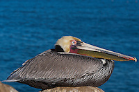 This California brown pelican (Pelecanus occidentalis californicus) is photographed sitting on a peaked rock in front of the ocean. The beak, bill pouch, and eye are all sharply in focus, and visible clearly above the folded-up body.