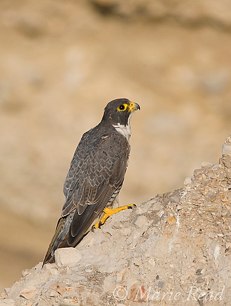 Peregrine Falcon (Falco peregrinus), adult male perched on cliff face, Montana De Oro State Park, California, USA. Wild.