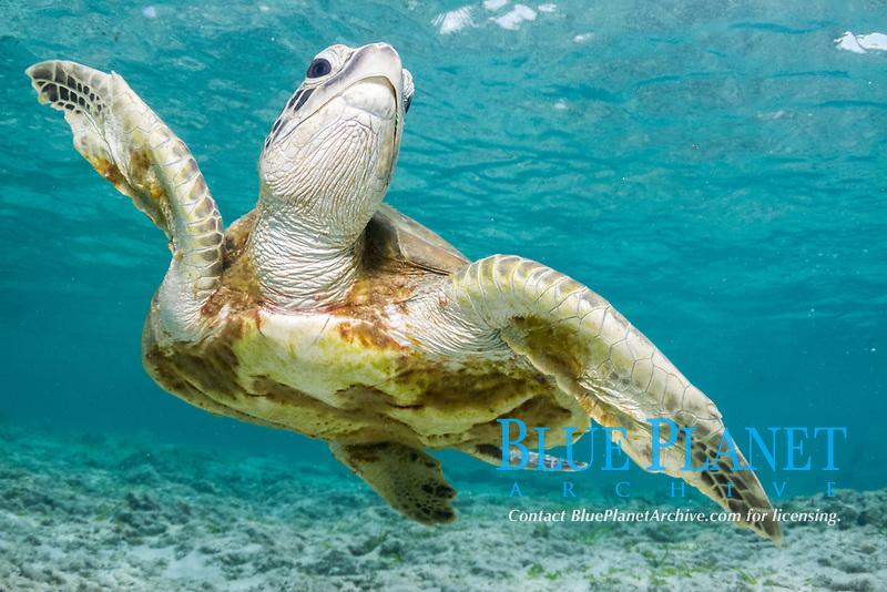 green sea turtle, Chelonia mydas, Bird Island, Seychelles, Indian Ocean