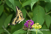 03017-01417 Giant Swallowtail (Papilio cresphontes) on Butterfly Bush (Buddleja davidii) Marion Co. IL