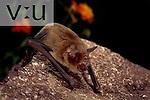 A Mustached Bat (Pteronoctus parnellii) Alamos, Sonora, Mexico
