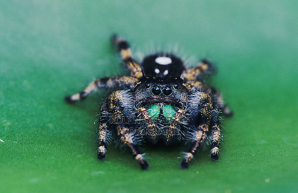 Daring Jumping Spider, Phidippus audax, adult pad of Texas Prickly Pear Cactus (Opuntia lindheimeri) , Willacy County, Rio Grande Valley, Texas, USA, June 2004