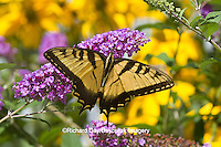 03023-02709 Eastern Tiger Swallowtail butterfly (Papilio glaucus) on Butterfly Bush (Buddleia davidii) Marion Co., IL