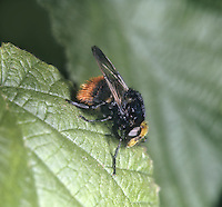 Volucella bombylans - a species of Hoverfly