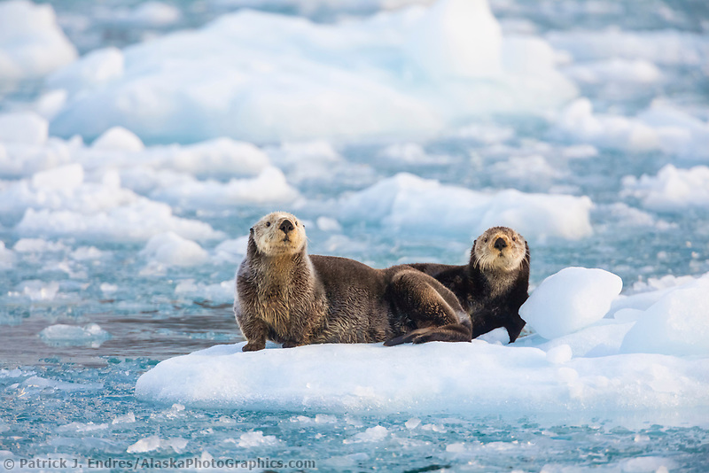 Sea otters in glacier ice, northern Prince William Sound, Alaska.