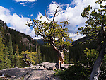 twisted pine in Glacier Gorge, summer day in Rocky Mountain National Park, Colorado, USA