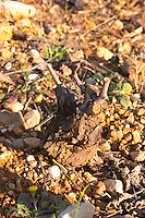 Domaine de Montcalmes in Puechabon. Terrasses de Larzac. Languedoc. Vines trained in Gobelet pruning. Counoise grape vine variety. France. Europe. Vineyard.
