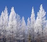 hoarfrost on tamarack in peatland, Carp Swamp Wildlife Management Area, Lake of the Woods County, Minnesota