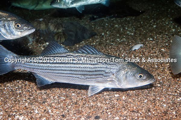 Striped bass juvenile swimming right