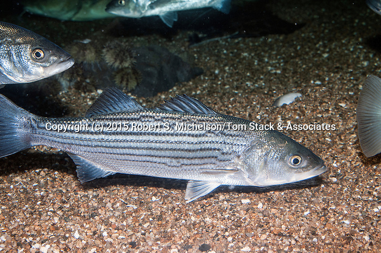 Striped bass juvenile swimming right