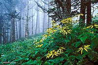 Woodland Sunflowers or Golden Glow on foggy day.