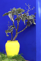 Plant in yellow pot against Majorelle blue wall, Majorelle Garden, Marrakech, Morocco. These botanical gardens were designed by French painter Jacques Majorelle, 1886-1962, in the 1920s and 1930s. He invented the shade of cobalt blue, known as Majorelle blue, which is used on the buildings and walls. Picture by Manuel Cohen