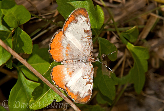 362790001 a wild common mestra butterfly mestra amymone at  the naba site in mission hidalgo county lower rio grande valley texas united states