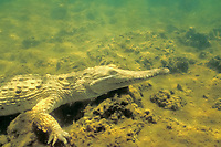 freshwater crocodile, Crocodylus johnstoni, c, underwater in billabong, Northern Territory, Australia