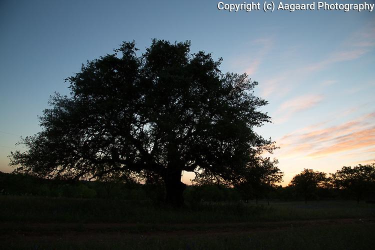 Live oak at sunset near Llano, Texas
