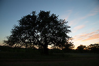 Live oak at sunset near Llano, Texas
