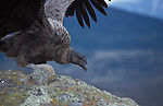 Juvenile male Andean Condor with  brown plumage standing on rock exercising wings.