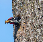 Yellow-bellied sapsucker cleaning out the nest cavity.