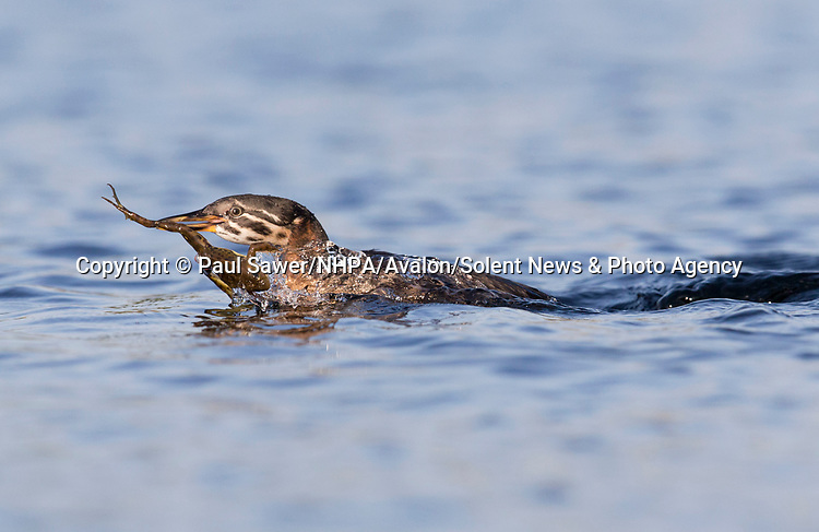 Pictured: A frog appears to have dived headfirst into this grebe's beak.  The amphibian's limbs flailed helplessly after it was plucked from the water by the bird.<br /> <br /> A photographer watched a pair of the water birds hunting for food with their chicks on Romania's Danube Delta, close to where the river enters the Black Sea.  The adults, who can be identified by their white cheeks, dive under the surface of the water as they hunt fish and frogs.  SEE OUR COPY FOR MORE DETAILS.<br /> <br /> Please byline: Paul Sawer/NHPA/Avalon/Solent News<br /> <br /> © Paul Sawer/NHPA/Avalon/Solent News & Photo Agency<br /> UK +44 (0) 2380 458800