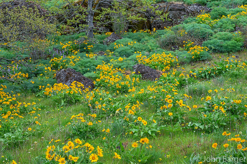 ORCG_D166 - USA, Oregon, Columbia River Gorge National Scenic Area, Tom McCall Preserve, Spring bloom of Northwest balsamroot.