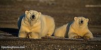Polar bear snear the Beaufort Sea in Alaska