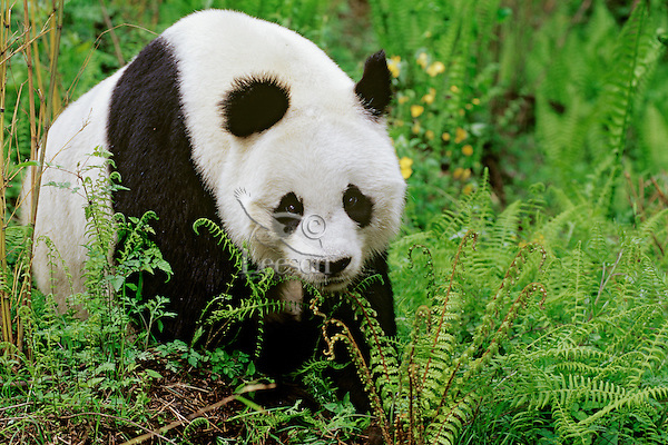 Giant Panda (Ailuropoda melanoleuca), Wolong Nature Reserve in the Qionglai Mountains, Sichuan Province of central China.