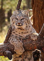 Bobcat - Arizona<br />