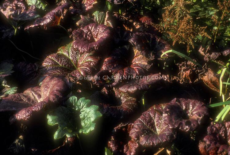 Darmera peltata red purple foliage