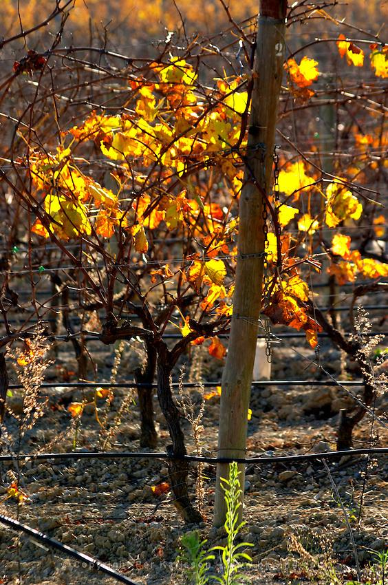 La Clape. Languedoc. Domaine Mas du Soleilla. Vines trained in Cordon royat pruning. Vine leaves. France. Europe. Vineyard.