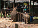 Touching elephant story - <br /> <br /> Namal and Hercules (smaller of the two)  - two &quot;disabled&quot; baby elephants that have formed a special friendship at Elephant Transit home in Sri Lanka.<br /> Namal has a false leg after being shot- probably caught in crossfire by ivory poachers - he was rescued by rangers and taken to elephant hospital where he underwent life saving surgery. He was later fitted with a prosthetic leg.<br /> <br /> Hercules was caught in a trap unscrupulous pet hunters, but again was rescued by national park rangers before being captured. Sadly he  now has a deformed kneed due to his injuries.<br /> A &quot;transit home&quot; is different to an &quot;orphanage&quot; because it is planned to return all the elephants to the wild once they are strong enough. But whether these two will ever be strong enough remains to be seen. <br /> There are wild herds of elephants in Uda Walawe National Park in the south of the island to which the transit home is attached.<br /> <br />  Many of the other 20 or so elephants were rejected by their mothers or their mothers were killed by poachers. <br /> Hercules and Namal are led out before the main group to protect them from the scrum for milk feeding. The main bunch follows them out and the pair are moved to the centre of the compound for safety. <br /> After milk feeding, grasses are spread around for elephants to feed on where they jockey for the best pickings three times a day. <br /> Again Hercules and Namal are kept back and allowed to stay after the main bunch has been led out so they can get their feed.<br /> During the main feeding Namal, 10 months old,  is very nervous due to his plastic leg . But plucky Hercules, just four months, ventures into the main bunch to get a drink from a nearby pond. <br /> Heartbreakingly he stumbles and drops several times to one knee. In the end the step down to the pond proves too much for him and he gives up.<br /> On the back back through the crowd to his chum Namal, Hercules is knocked my another elephant and falls over. A crowd of elephants gathers around him and it is feared he