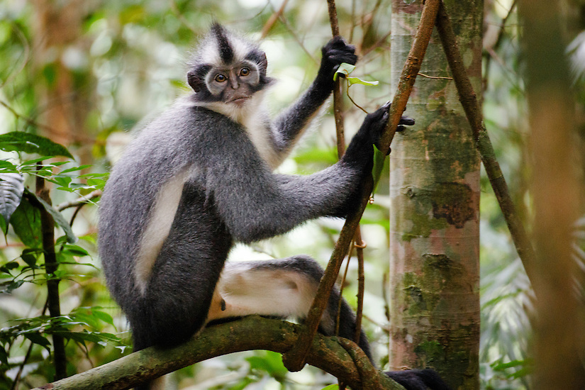 A Thomas Leaf Monkey (Presbytis thomasi) sits on a branch in Gunung Leuser National Park