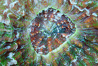 Spiny flower coral, Mussa angulosa, Bonaire, Caribbean Netherlands, Caribbean