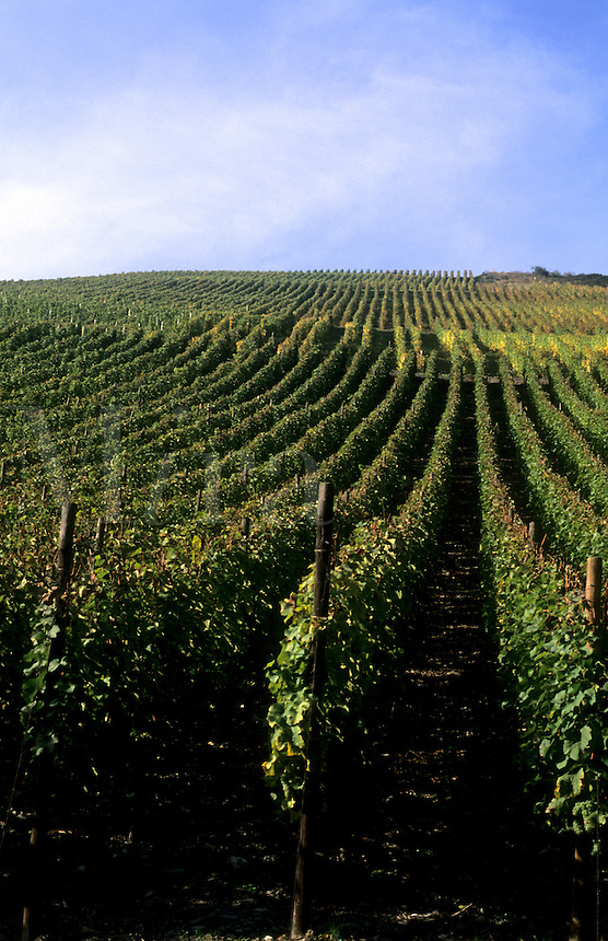 Vineyard in wine region of Rhine River in the wine fields of Bacharach, Germany