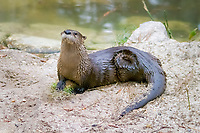 North American river otter or the Canadian river otter (Lutra canadensis or Lontra canadensis) (c)