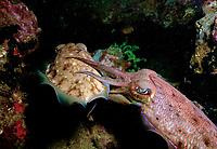 Reef cuttlefish mating Sepia latimanus Gato Island