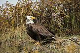 USA, Alaska, Homer, China Poot Bay, Kachemak Bay, a bald eagle spotted on the boat ride to Kachemak Bay Wilderness Lodge