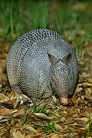 605500016 a wild nine-banded armadillo dasypus novemcintus forages in leaf litter on a private ranch in the texas hill country texas