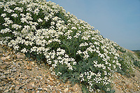 Sea Kale - Crambe maritima