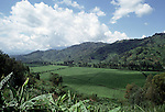 Tea estates near Gishwati forest western Rwanda..Due to the near perfect climate and altitude some of the finest teas in the world are grown in Rwanda