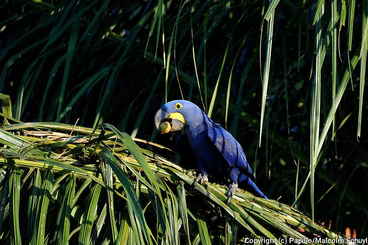 Hyacinth Macaw (Anodorhynchus hyacinthus) eating palm tree fruit, Pantanal, Brazil.