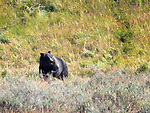 A grizzly bear walks in Yellowstone