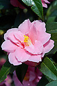 Camellia 'Maud Messel' (reticulata x williamsii 'Mary Williams'), mid March.